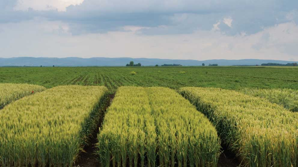 Hybrids change cereal grain economics